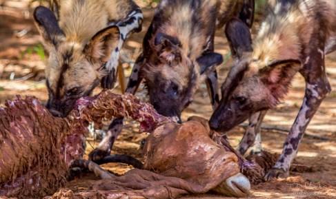 African Wild Dog Pack 4