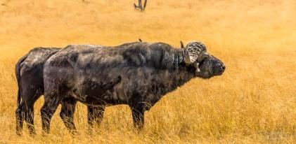 Buffalo Bull 1