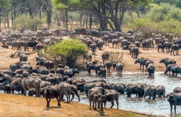 Buffalo Herd 9