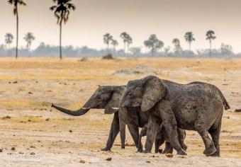 Elephant Herd 6