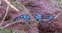 Giant Kingfisher 1
