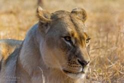 Lion (Female 1)