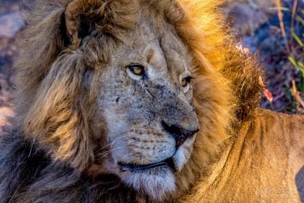 Lion (Male 12)