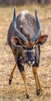 Nyala Bull 2