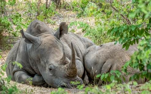 White Rhino 13