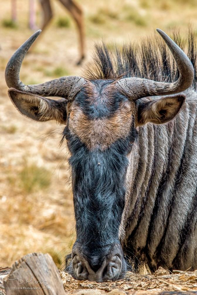 Wilderbeest 7