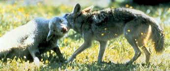 Coyote throating sheep (1)