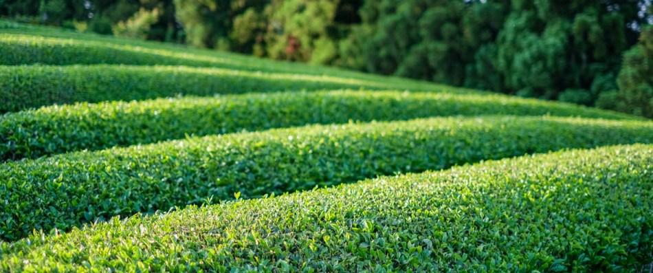 Kitaha Tea Farm