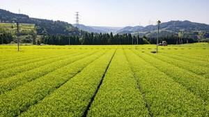 Maruyama Tea, Shizuoka Japan