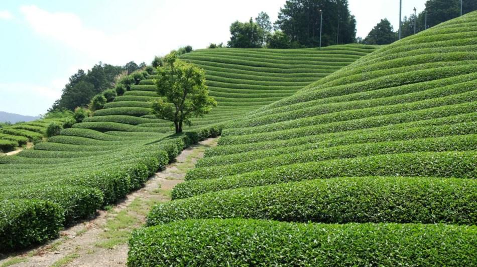 Japan Tea Maraton