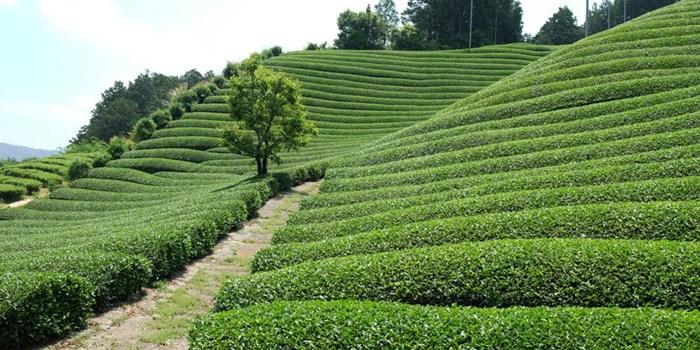 Japan Tea Marathon