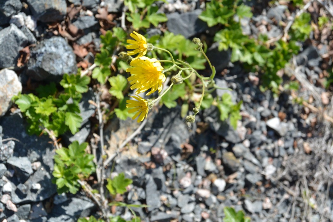 Blooming, adversity, hope, moments, NWT, Canada, flowers, rocks