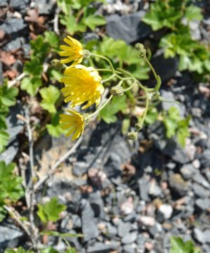 hope, NWT, flowers, yellow, adversity