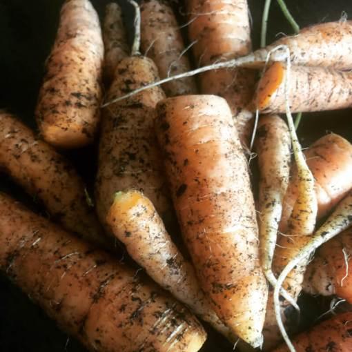 Garden carrots, freshly picked and piled, still covered in soil.