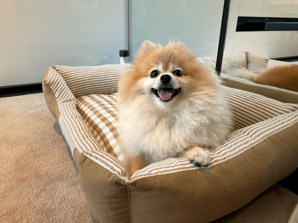 Rocket the Pomeranian on her dog bed with a big smile on her face!