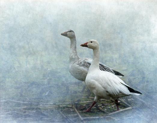 snow-geese-angie-vogel