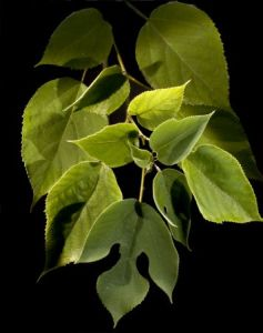paper mulberry for Japanese tea ceremony