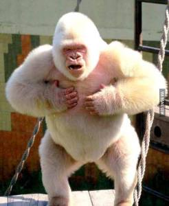 Is this the Pink Gorilla?