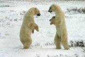 MALE POLAR BEARS