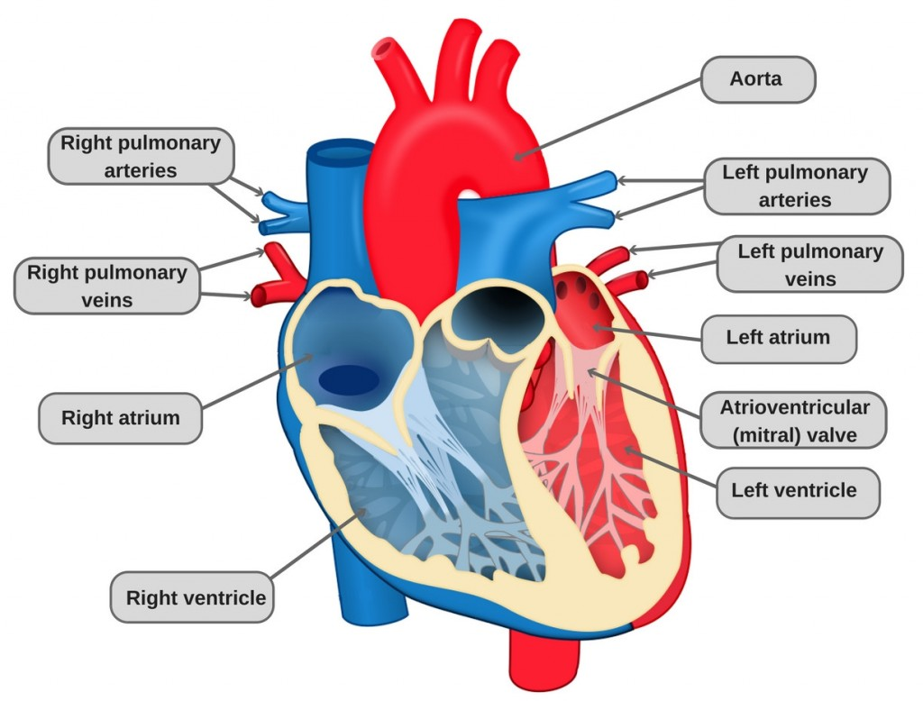 Heart Structure And Function Worksheet Teacha