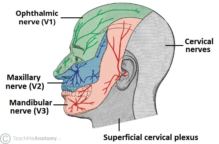 Fig 4 - Cutaneous innervation to the head and neck.