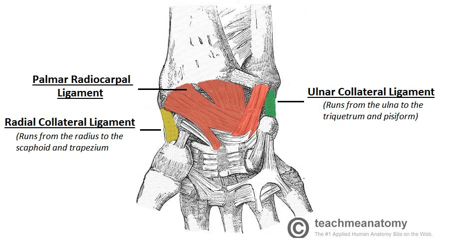 Image result for wrist joint