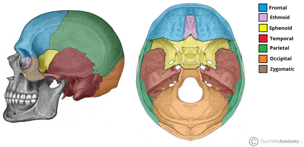 Posterior Cranial Bone Diagram