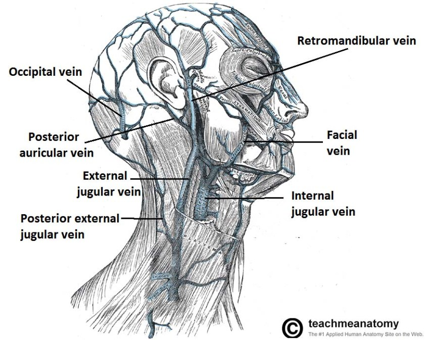 Venous Drainage of the Head and Neck - Dural Sinuses ...