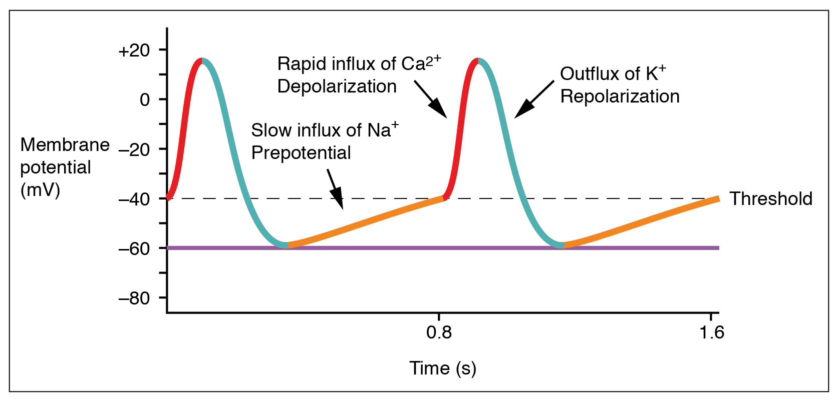 Action Potential In Cardiac Pacemaker Cells Teachmephysiology