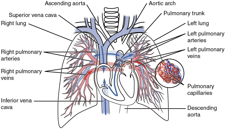 Specialised Pulmonary Circulation