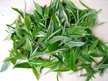 Spring Tea Harvest