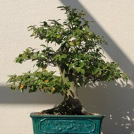 A C. sinensis bonsai donated to the U.S. National Arboretum in 1936.