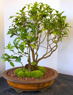 Thirty-year-old C. Sinensis bonsai