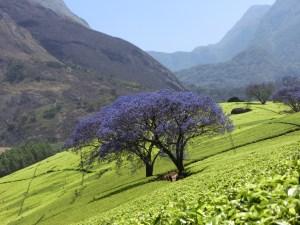 tj2_harvest16_malawi_mulanji-mountains_smallholder-farm