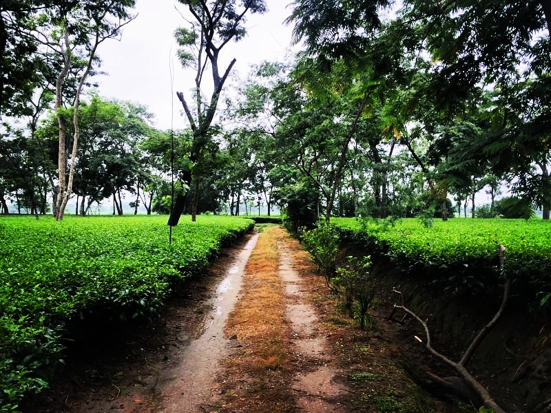 Bihar is known as the land of Buddha who is said to have torn his eyebrows to avoid sleep, casting them on the banks of the Doke River where they sprang forth as tea bushes.