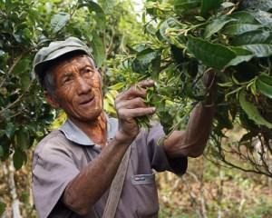 A tea picker in Yunnan, China