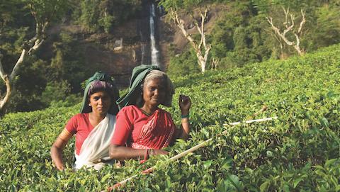 Harvest Review: Assam's Smallholders Inherit the Land - Tea