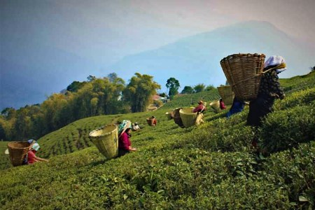 Temi Tea Pluckers