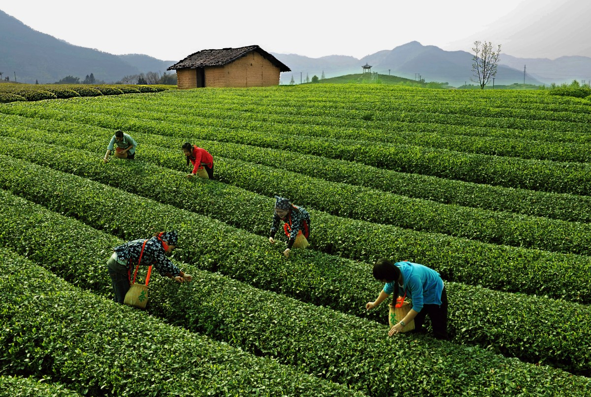ex Plucking well-groomed rows of green tea