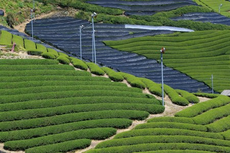 Covered tea plants