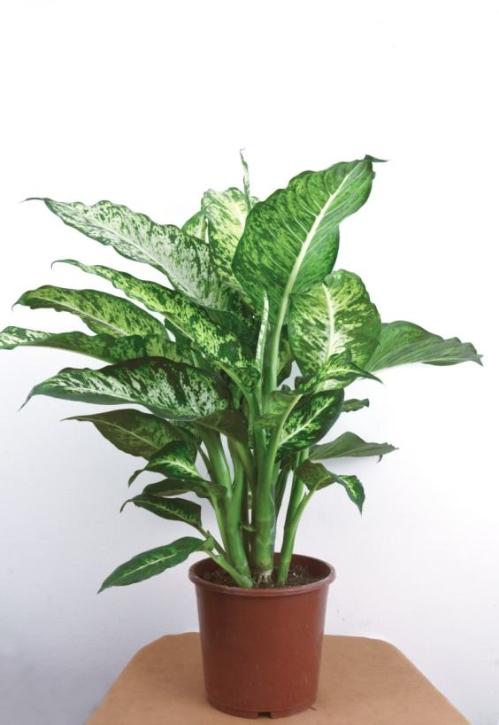 chinese evergreen indoor plant