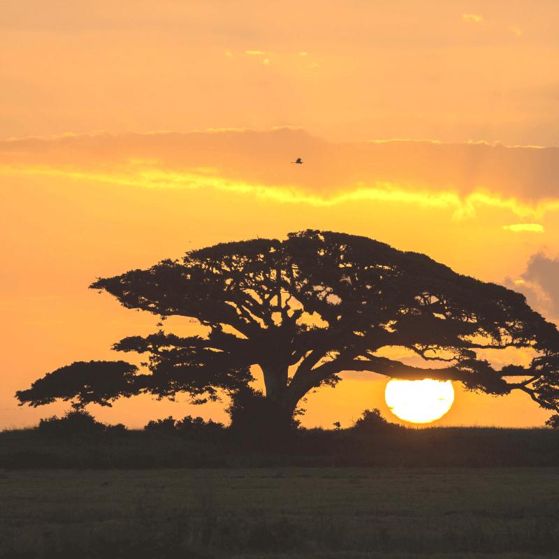 Sun setting through giant tree