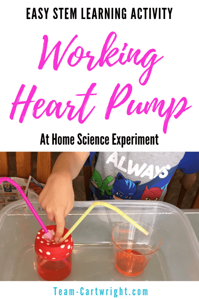 Make a working heart pump model at home! This is surprisingly easy to put together and it really helps kids understand how the heart works. A great science activity to work on anatomy. #STEM #ScienceActivity #Cardiovascular #Anatomy #HeartModel Team-Cartwright.com