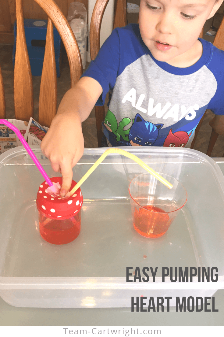 Make an easy pumping heart model at home! Help your children learn about the cardiovascular system and see how our heart pumps blood. STEM that will wow your kids! #STEM #ScienceExperiments #Anatomy #HeartPumpModel #HeartScience Team-Cartwright.com