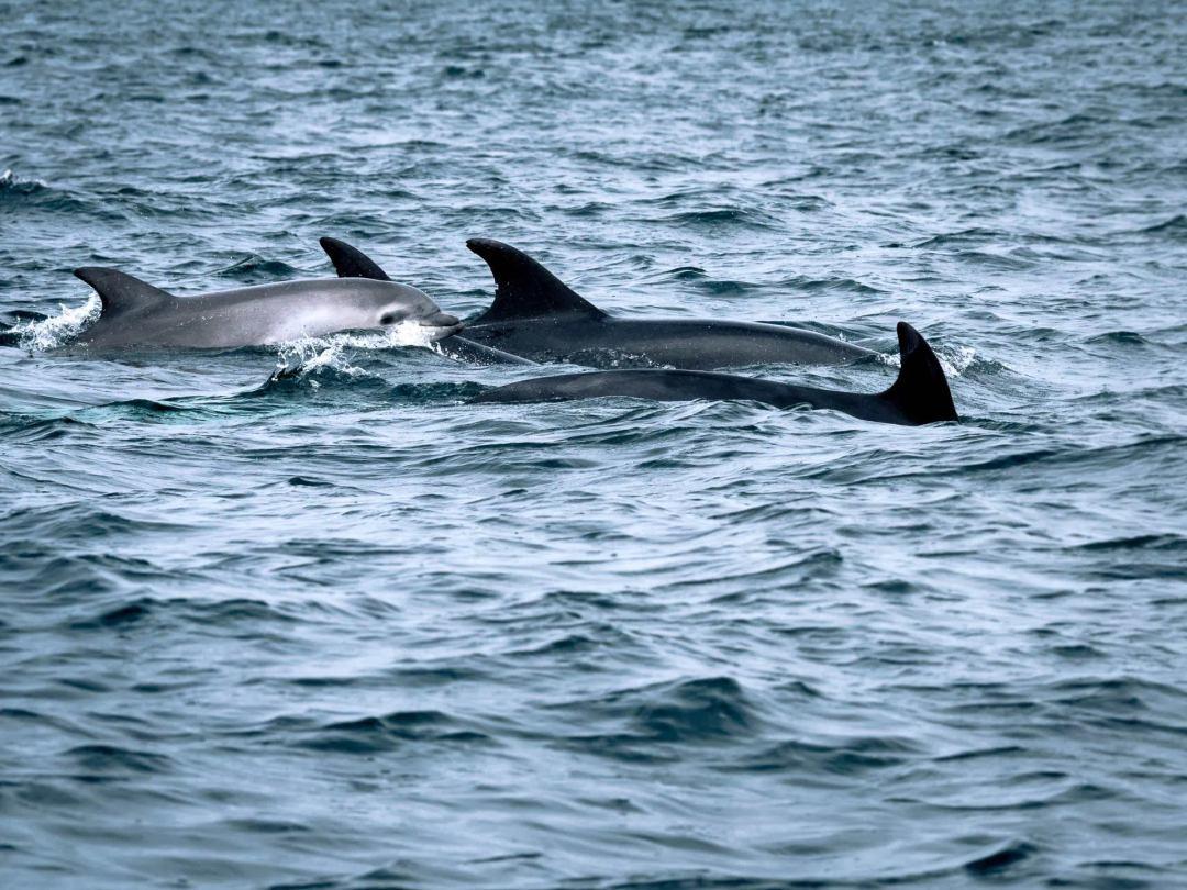 bébé dauphin conquet