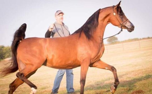 Adiva Joy by KM Bugatti Youth National top ten purebred arabian mare