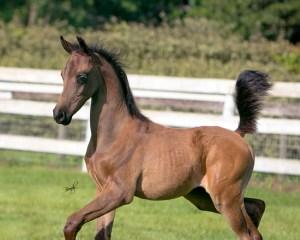 Bacchus JMH Arabian colt by KM Bugatti