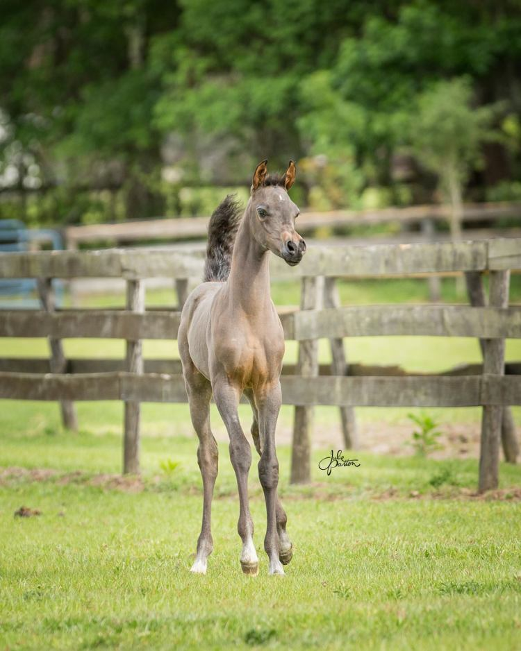 KM Calabria 2017 grey filly by KM Bugatti out Isabella de Jamaal