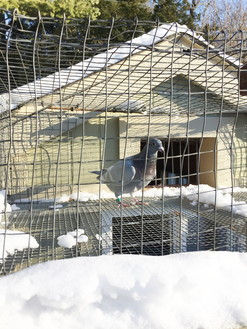 Racing pigeon in winter