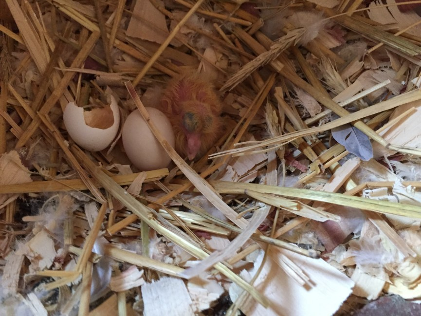 Newly hatched racing pigeon
